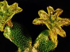 Marchantia inflexa: male sex structures