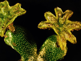 Marchantia inflexa: male sex structures