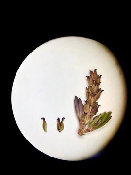 Myrothamnus flabellifolia: mature female inflorescense