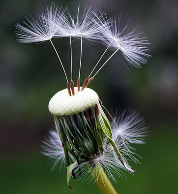 bloom-blossom-dandelion-101538.jpg