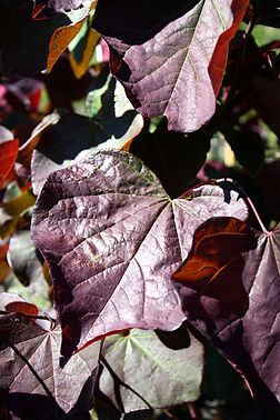 Cercis%252520forest%252520pansy%252520le
