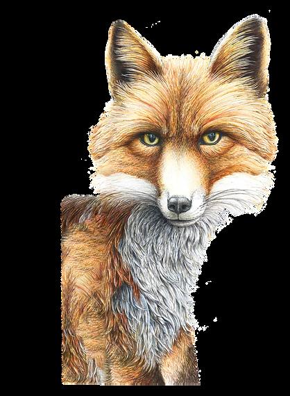 Wild Grey Fox nikki mcivor art in greytown new zealand