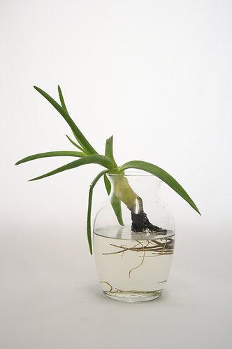 Aloe in Vase