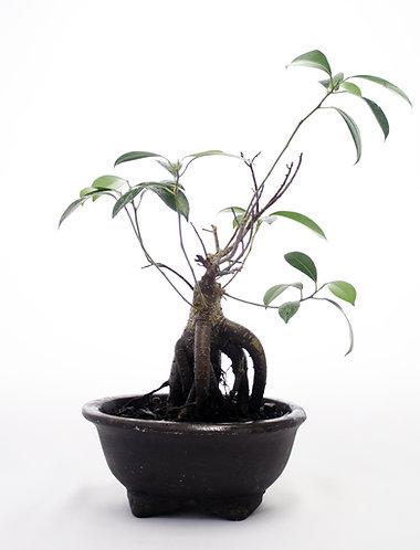 Wild Fig Bonsai