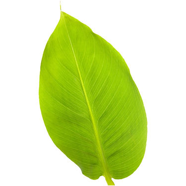 Banana Leaf.jpg