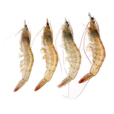 Shrimp White.jpg