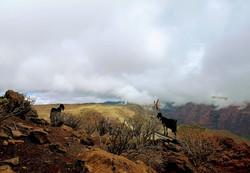 wilde Ziegen auf der Anhöhe Lameríca