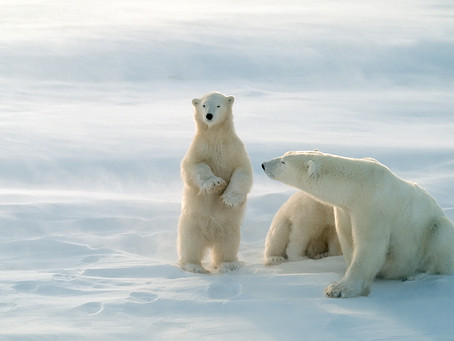 First Polar Bear Born In UK In 25 Years Moves To Yorkshire