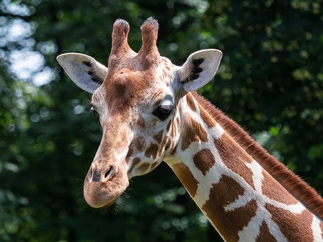 Edinburgh Zoo Hopes To Breed Giraffes