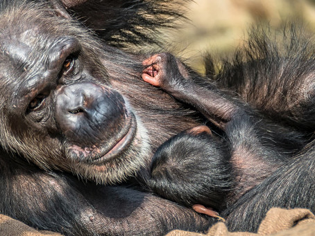 Chester Zoo Welcomes New Chimpanzee Arrival!