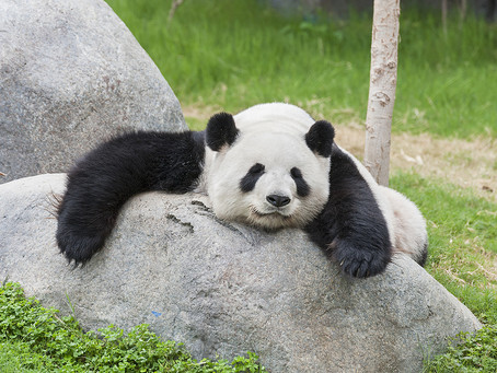 Edinburgh Zoo's Pandas May Have To Leave The UK