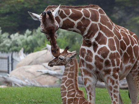 Chester Zoo Set For Boost From New Giraffe