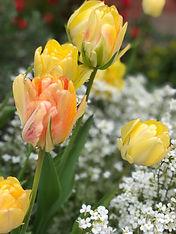 tulips, tea house garden