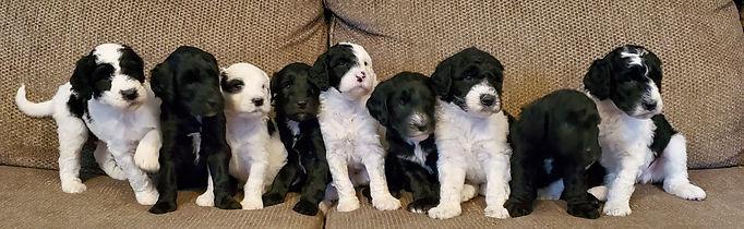 GOT Puppies5W.jpg