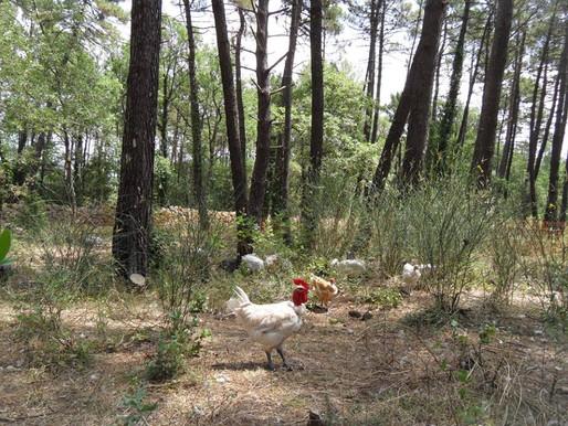 poule coq.jpg