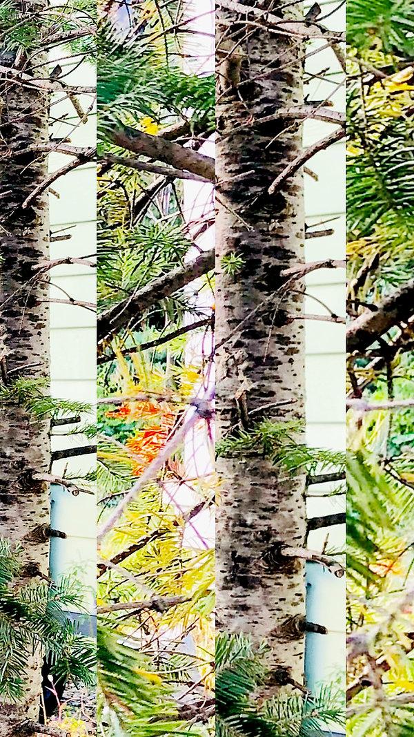 dantrees.jpg