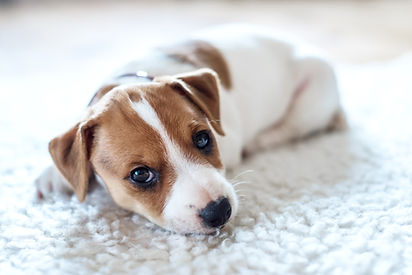 K1-Cleaning-Ottawa-Residential-Carpet-Cleaning-Pet-and-Urine-Stains