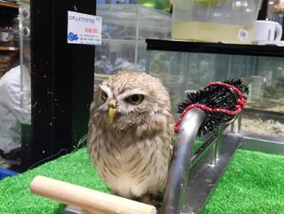コキンメフクロウ!