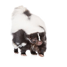 Central Ohio Skunk Odor Removal