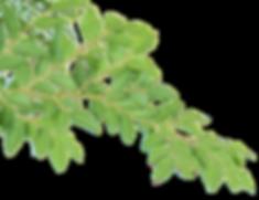 rami e foglie2.png