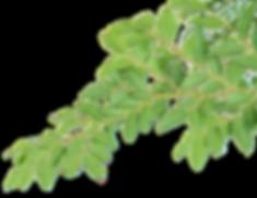 rami e foglie.png