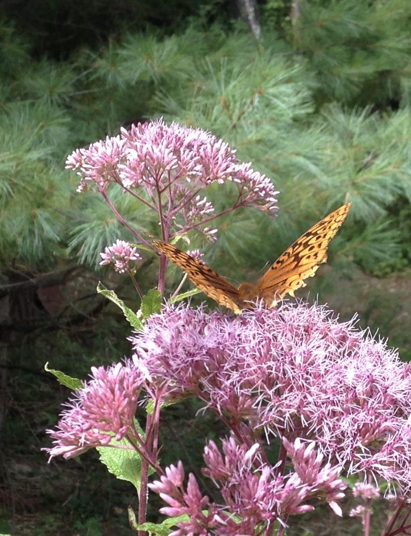 Regnier-Butterfly