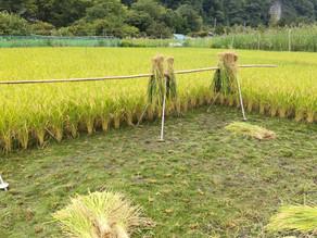 稲刈り開始です(^^)/