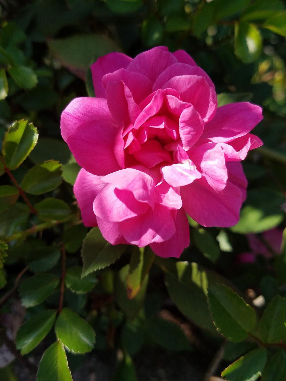 Caren's Rose