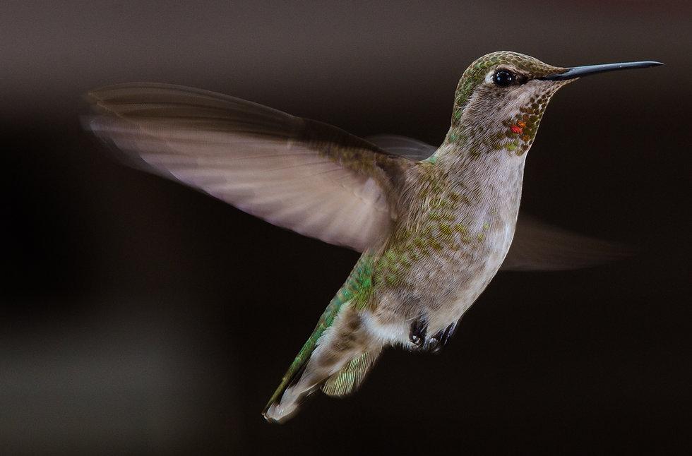 Hummingbirds-3-2.jpg