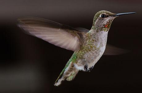 Hummingbirds-3.jpg