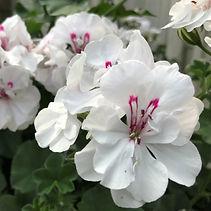 Trailing Geranium Blanche Roche White Pa