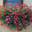 Geranium roi des balcons.jpg