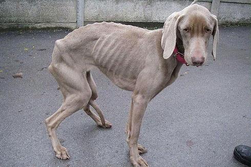 emaciated dog.jpg