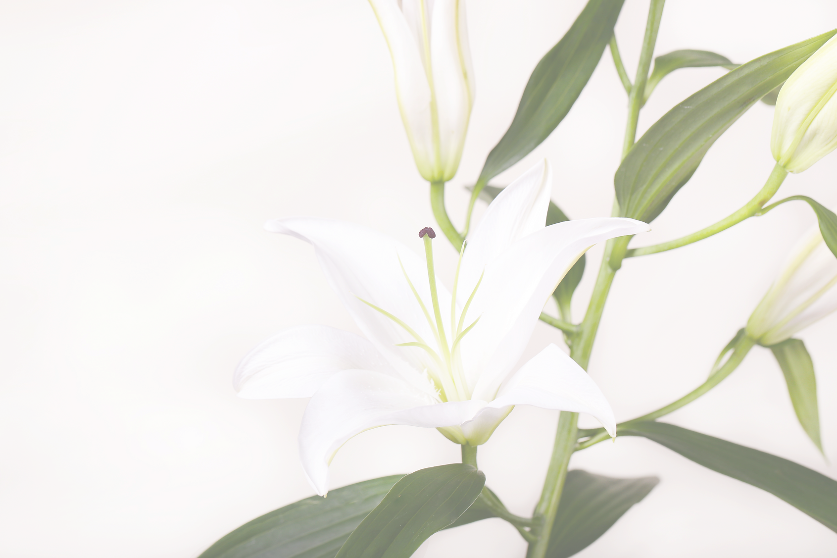 White%20Lillies_edited.png