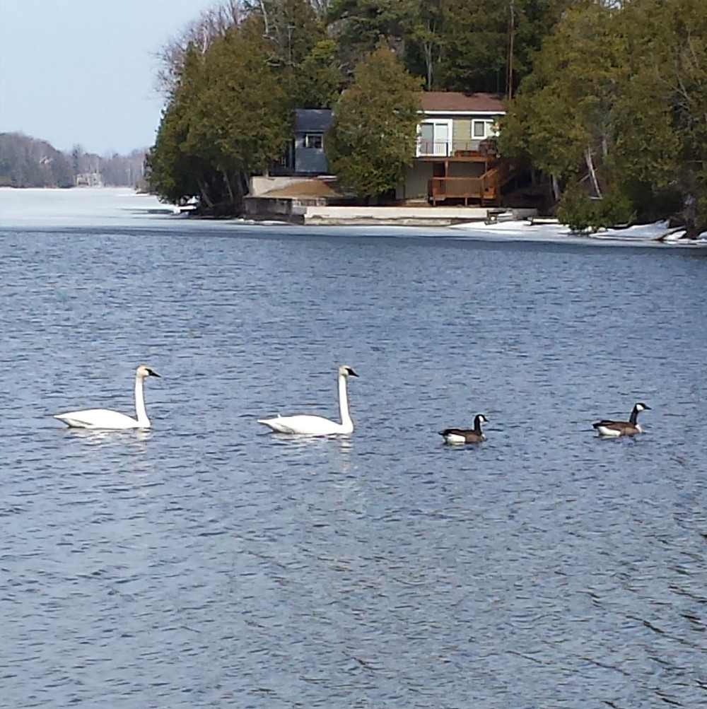 swans and geese.jpg