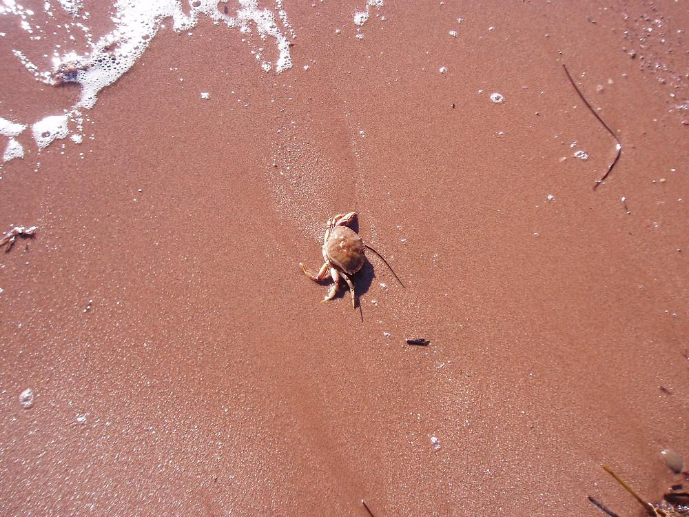 Crab on the beach.JPG
