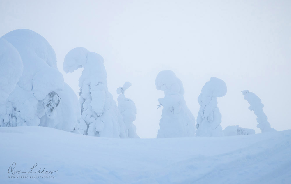 Snowy tree creatures in northern Finland