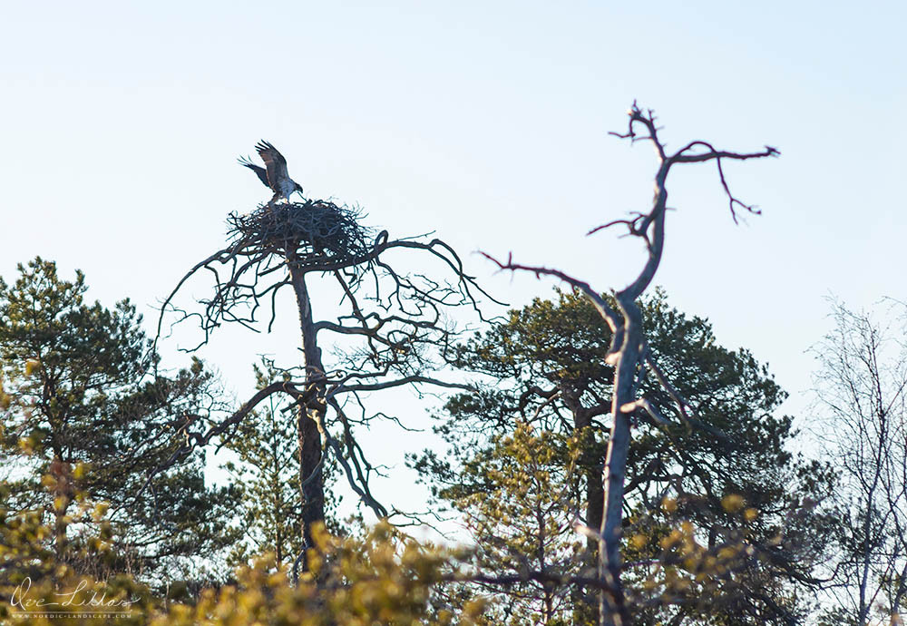 Osprey, a bird of prey, landing on its nest. Finland.