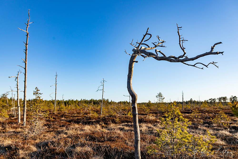 Dead tree on a Finnish mire (bog, fen) in morning light. Wilderness of Finland.