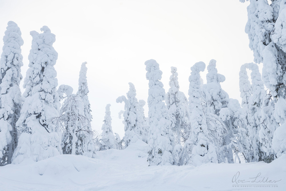 Snowy trees in northern Finland