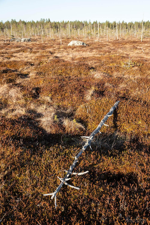 Dead tree on a mire in Finland. Finnish wilderness.