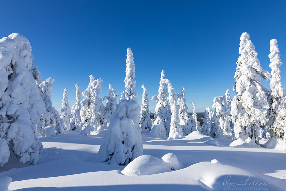 Snowy trees on a mountain top