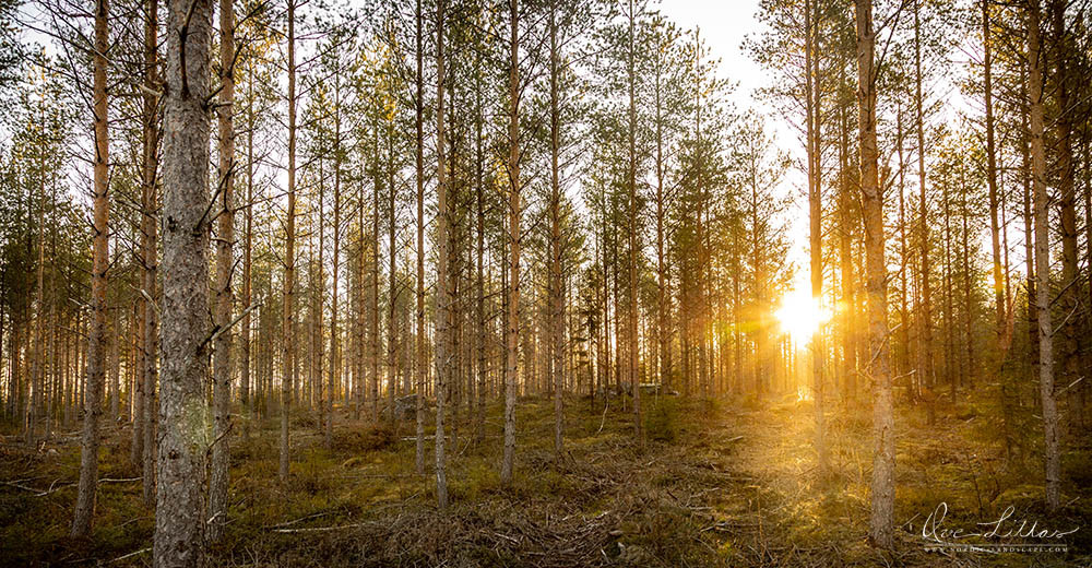 Forest in sunset. Landscape of Finland.