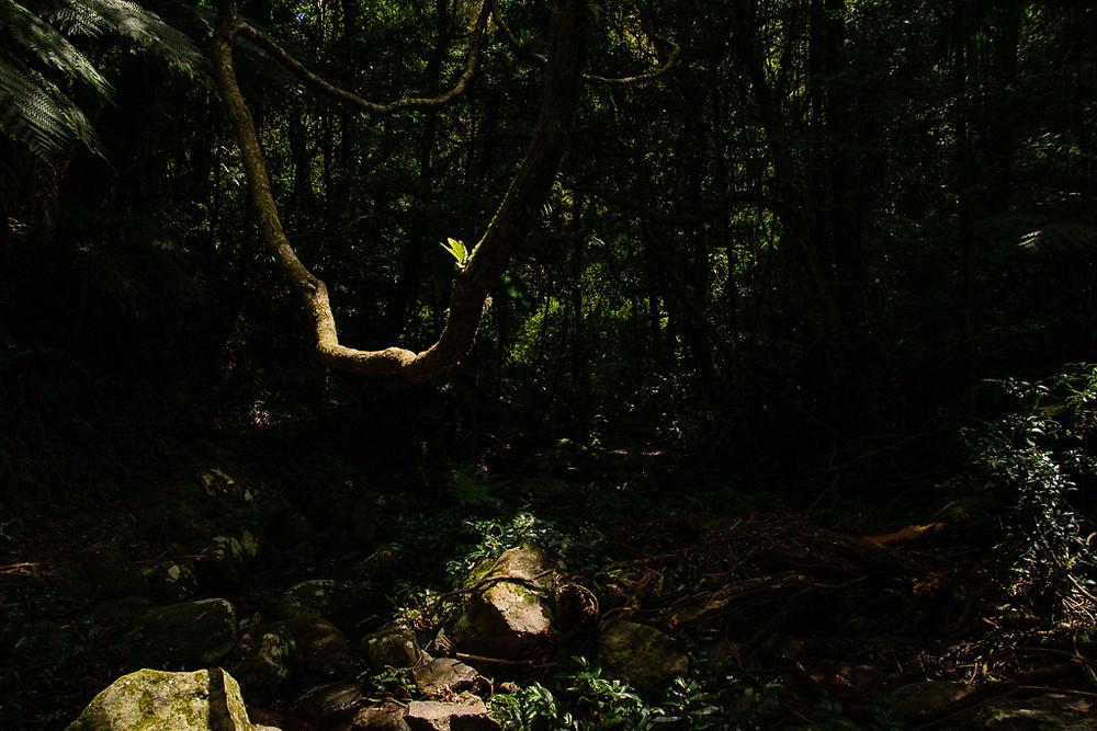 A hanging branch with a Bird's Nest Fern (Asplenium sp.) catch the light