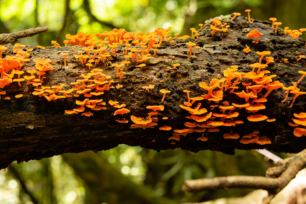 Orange Pore Fungus (Favolaschia calocera)