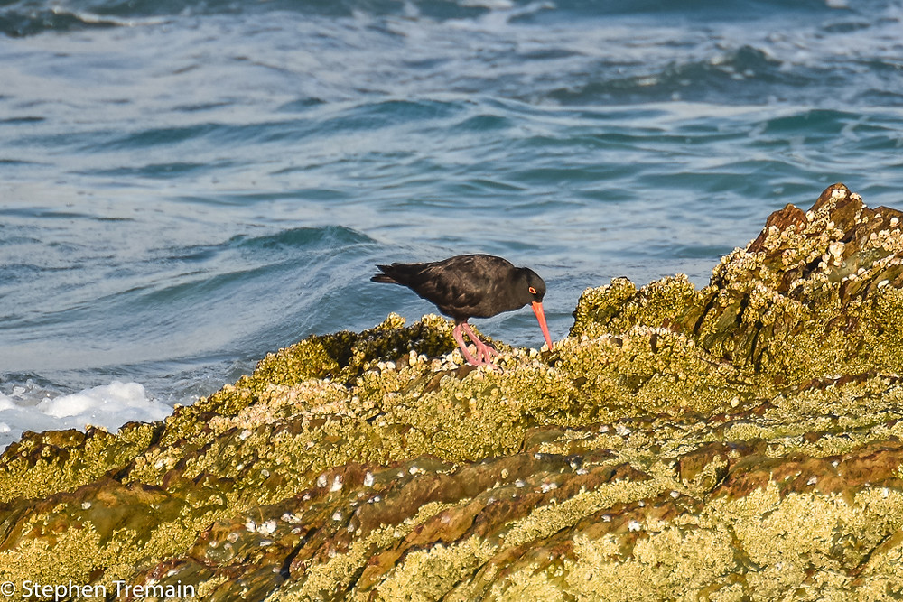 Sooty Oyster Catcher, Snapper Rocks
