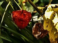 Nature's paper lantern