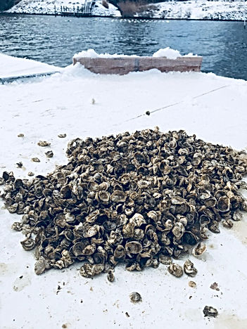 Oyster Seed