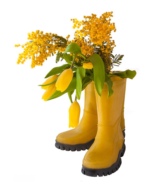Yellow tulips, mimosal and rubber boots