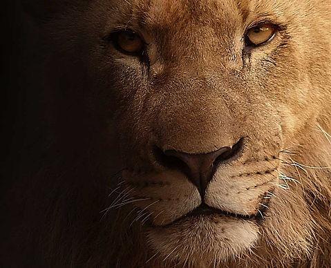lion-617365.jpg
